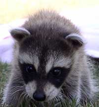 raccoon baby